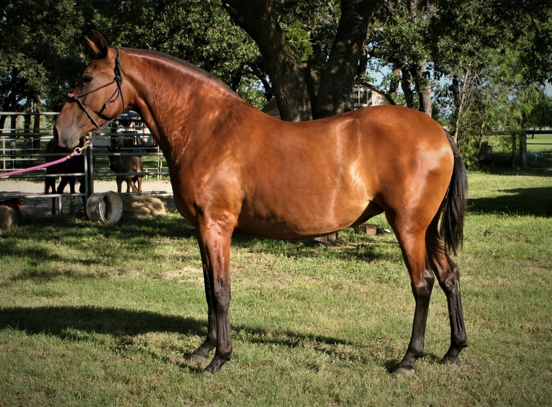 2015 Pure Andalusian Bay Mare