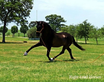 Black PRE Andalusian at Stud