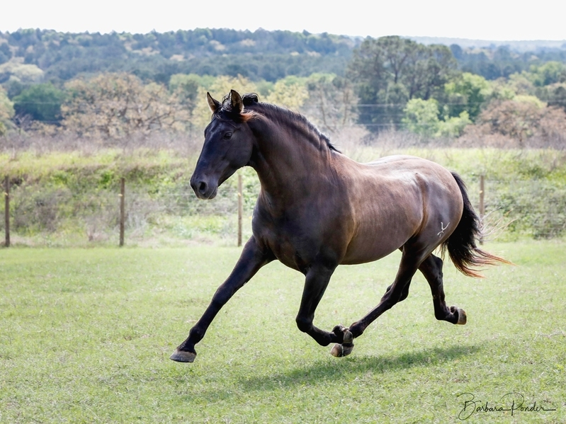 Black PRE Andalusian at Stud