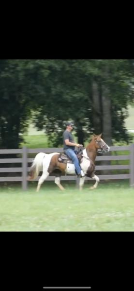 Amazing Neck Reining Fun To Ride 14.2 Gelding