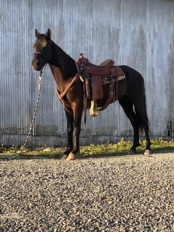 14.1 Neck Reining Black Trail Horse