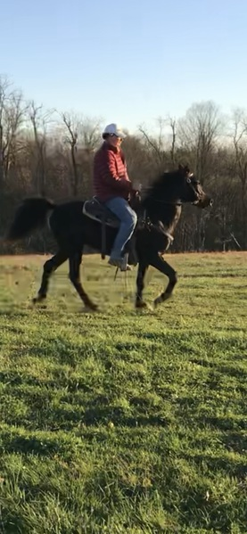 14.1 Neck Reining Black Trail Horse