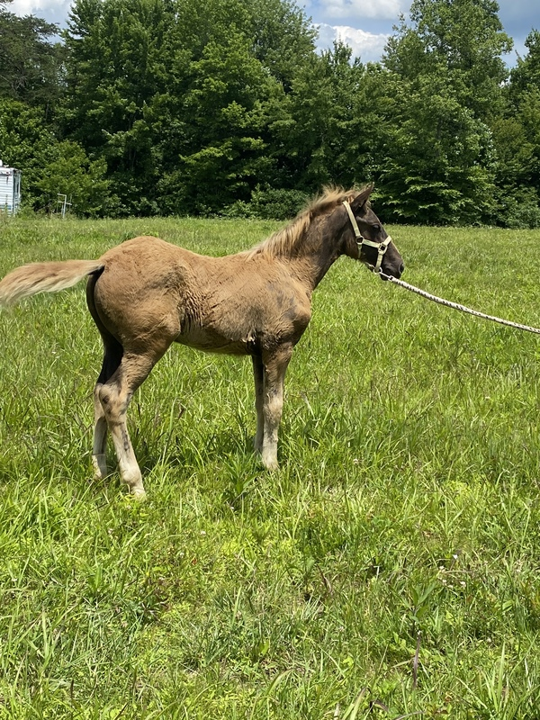 Excellent Bred Sweet Chocolate Colt