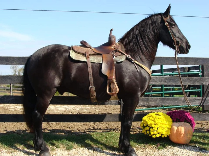 10 YEAR OLD GORGEOUS FRESIAN GELDING**VIDEO**
