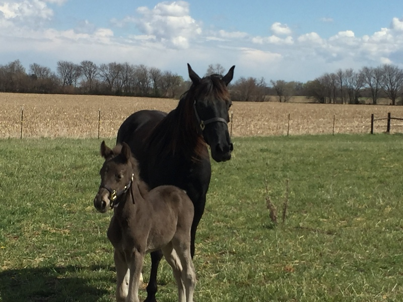 Gorgeous Well Bred Hand Raised Chocolate Yearling Filly