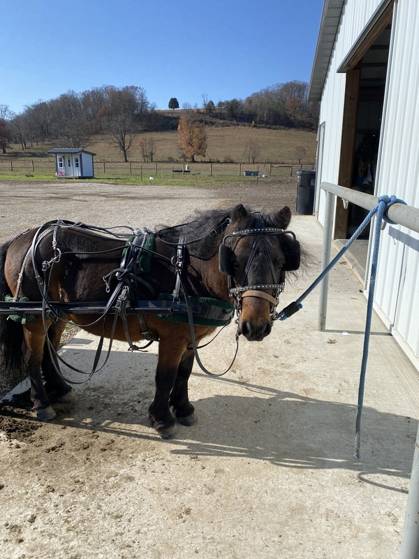 "38"" Beautiful Sweet Riding/Driving Gelding"