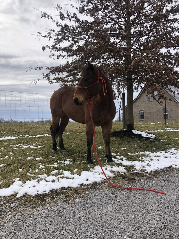 Talented Easy To Ride Trail Horse