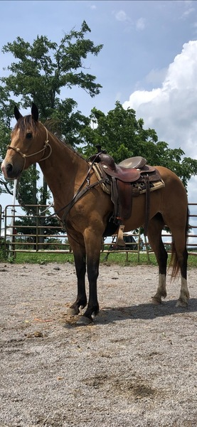 Beautiful Easy To Rode 14.2 Trail Horse