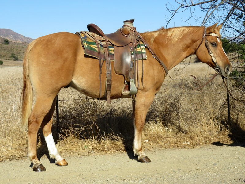 9 YEAR OLD 15.2 HAND RED DUNN GELDING **VIDEO**