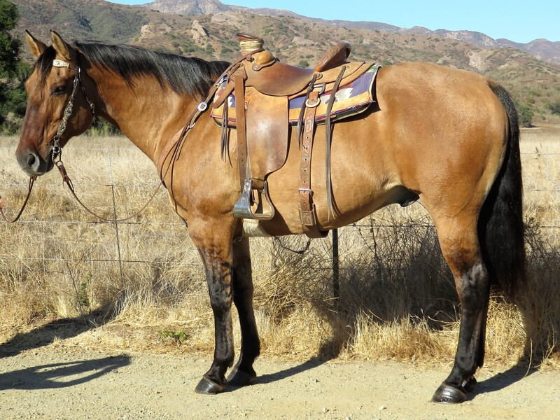 8 YEAR OLD 15.3 HAND DUNN GELDING **VIDEO**SOLD**