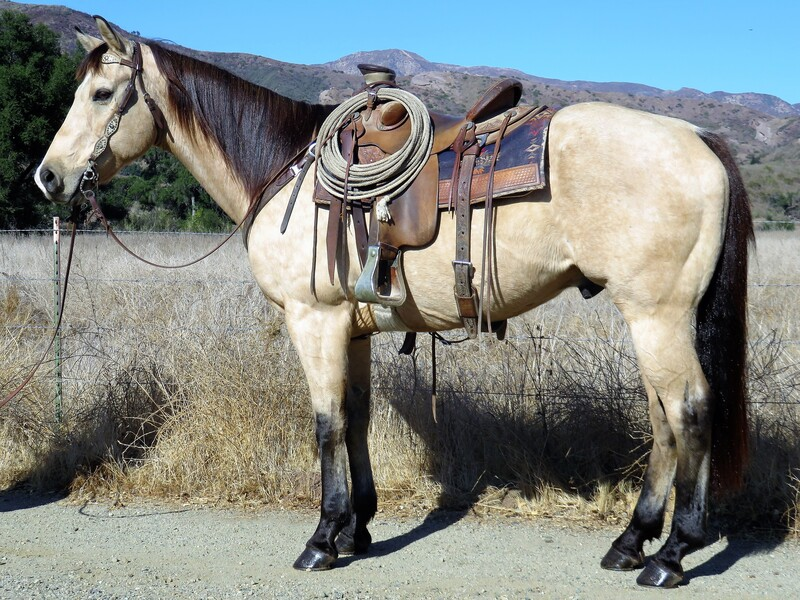 11 YEAR OLD 15.3 HAND BUCKSKIN GELDING **SOLD**