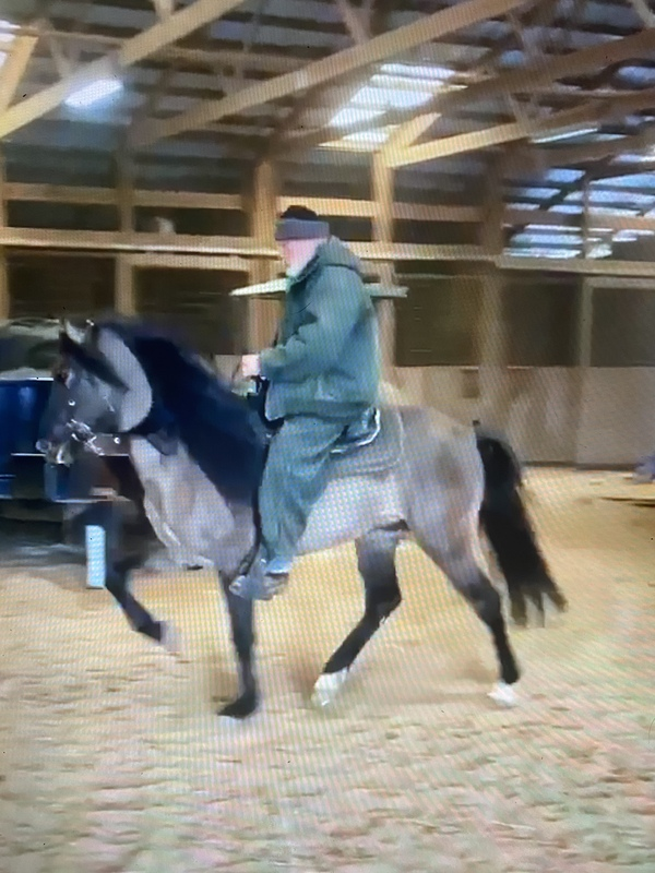 Experienced Stunning Grulla Trail Horse & Calm Stallion