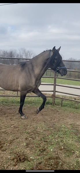 Experienced Stunning Grulla Trail Horse & Calm Stallion