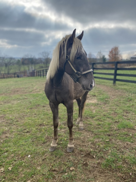 Sweet Trail Broke Chocolate Gelding