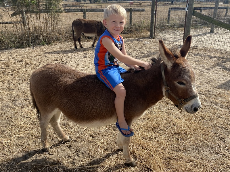 Perfect little 30.5 inch red gelding donkey