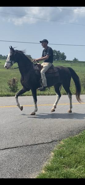 Experienced Black Roan Trail Horse