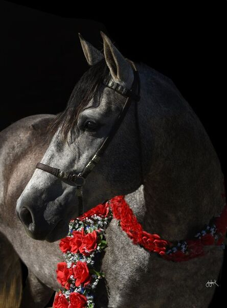 2017 PRE Andalusian Gray Gelding