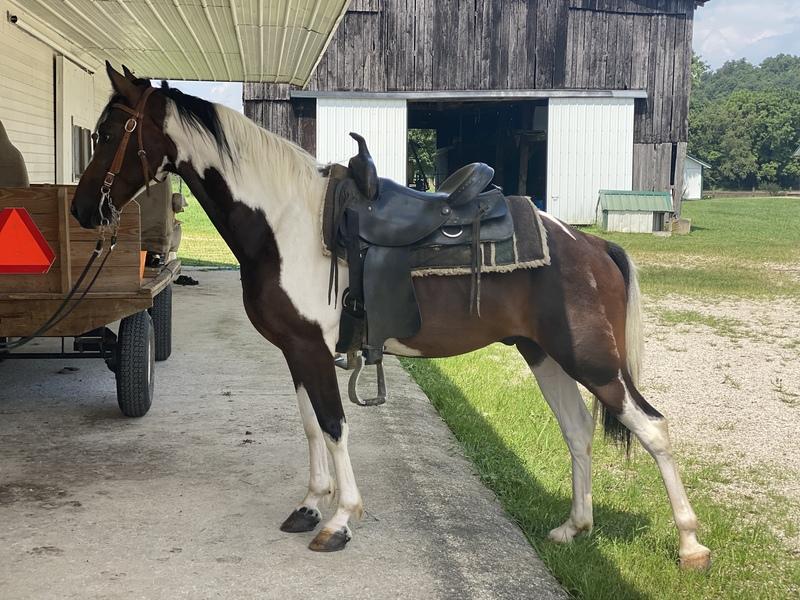 14 Hand Trail Horse