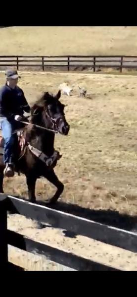 15.1 BeautifulChocolate Trail Horse