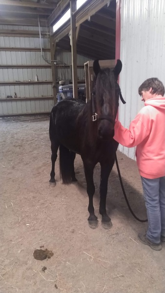 14.1 Sweet Easy To Ride Gelding