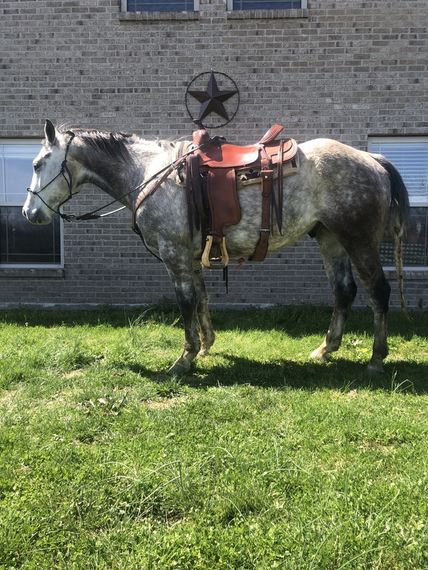 Well Trained Multi Talented Trail Horse