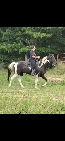 Gorgeous Tobiano Easy To Ride Colt