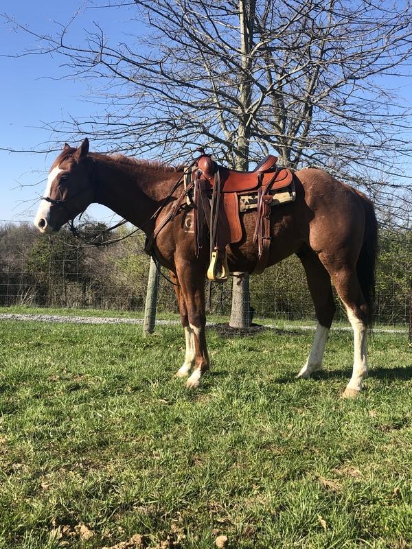 15.1 Beautiful Stout Trail Horse