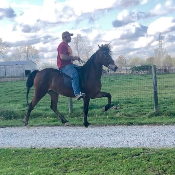 Well Bred Easy To Ride Mare In Foal