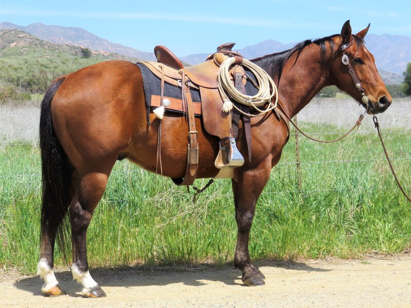 5 YEAR OLD 15 HAND BAY GELDING **VIDEO**