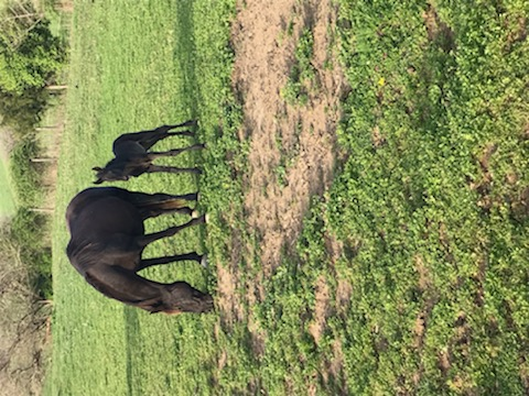 Solid Black Weanling Filly
