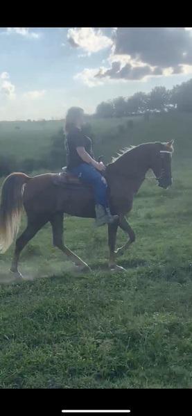 Well Trained Seasoned Trail Horse