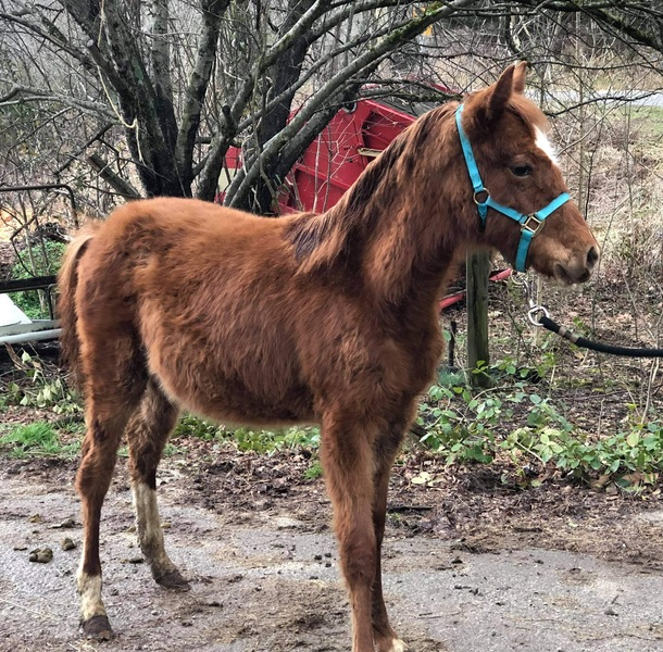 Well Bred  Sorrel Yearling Filly