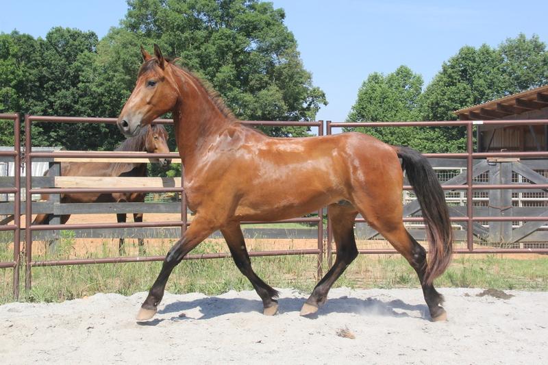 Georgian Grande / Friesian/ Saddlebred /Sport Horse
