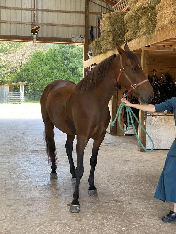 16 Hand Bomb Proof Trail Horse