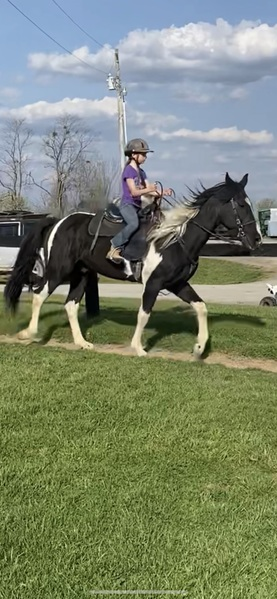 Sweet Novice Safe Tobiano Trail Horse