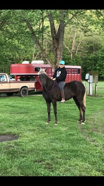 Beautiful 16HH Chocolate Trail Horse