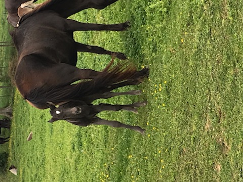 Beautiful Black Weanling Filly