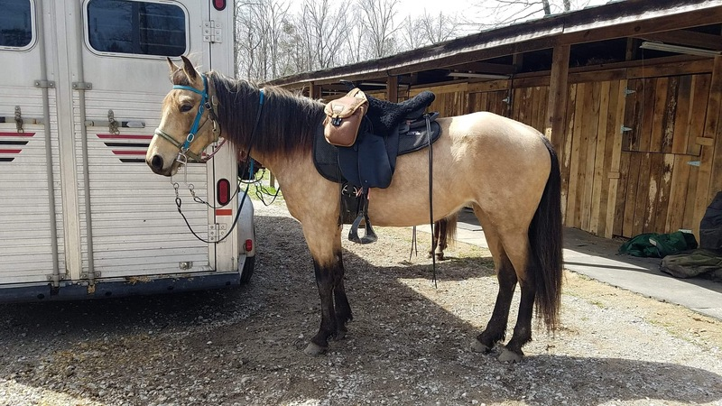 Gorgeous Smooth Gaited Bomb Proof Mare
