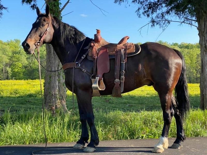 Brabant Quarter horse cross