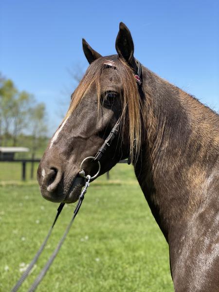 Beautiful Stocky Chocolate Trail Horse