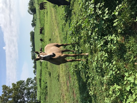Gorgeous Chocolate Weanling Filly