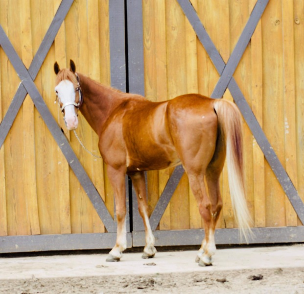 Easy To Ride Calm Trail Horse Deluxe