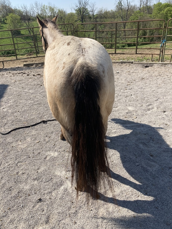 Gorgeous Roan Buckskin Trail Horse