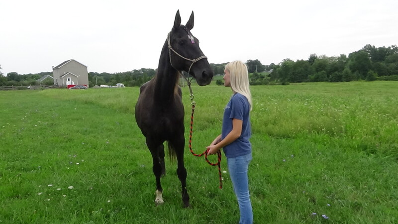 Bombproof Beginner Safe TWH Trail horse 30 Day GUARANTEE