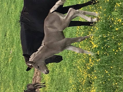 Beautiful Chocolate Weanling Colt