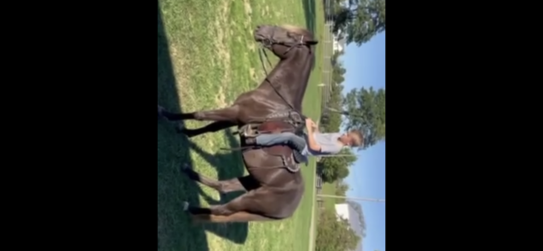 Versatile Easy To Ride Chocolate Trail Horse