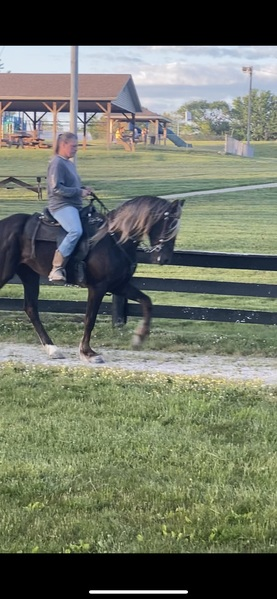 Easy To Ride Smooth Chocolate Trail Horse