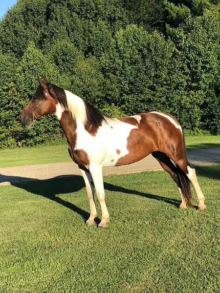 Experienced Sweet Trail Horse
