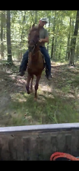 16.1 Easy To Ride Smooth Trail Horse