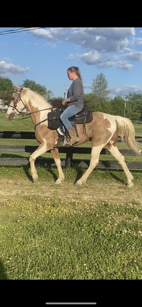 Novice Safe Tobiano Palomino Neck Reining Trail Horse